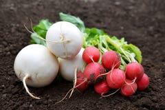 Freshly harvest white and red radish. Freshly harvest white and red radish on a soil Stock Photo