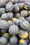 Freshly harvested acorn squash at a farmstand Stock Photography
