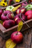 Freshly harvested apples Stock Image