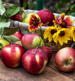 Freshly harvested apples Stock Photo