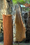 Freshly harvested bark of cork tree - quercus suber -  exposed by a cork harverster& x27;s axe, cork harvest Stock Image