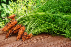 Freshly harvested carrots Royalty Free Stock Images