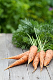 Freshly harvested carrots with green leaves Stock Images