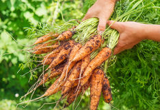 Freshly harvested carrots Stock Image