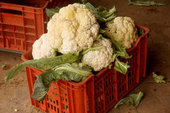 Freshly harvested cauliflower stock photos