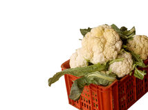 Freshly harvested cauliflower (Isolated) royalty free stock photo