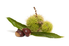 Freshly harvested chestnuts Stock Photo