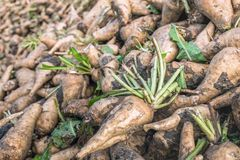 Freshly harvested chicory roots from close Stock Photo