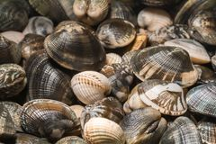 Freshly clams from the seabed Stock Images