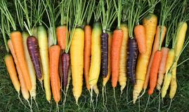 Carrots. Freshly harvested, colorful carrots on green grass Stock Photos
