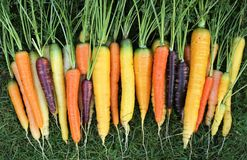 Carrots. Freshly harvested, colorful carrots on green grass Royalty Free Stock Photography