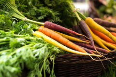 Freshly harvested, colorful organic carrots at farmers market Royalty Free Stock Image