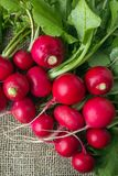 Freshly harvested colorful radish. Growing radish. Growing vegetables. Organic vegetables Royalty Free Stock Image