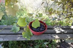 Freshly harvested concord grapes. Bowl of freshly harvested concord grapes under homemade arbor Royalty Free Stock Photography