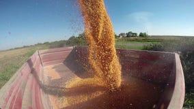 Freshly Harvested Corn Grains. Combine harvester unloading corn in tractor trailer.HD1080p stock footage