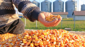Freshly harvested corn grains. Corn grains in a hands of successful farmer after harvest, in a background agricultural silo Royalty Free Stock Photography