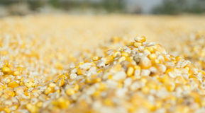 Freshly harvested corn grains Royalty Free Stock Photography