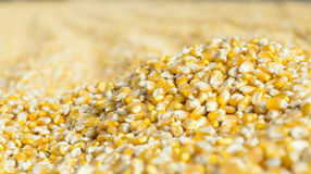 Freshly harvested corn grains. An micro image of corn grains piled up on the road after harvest Royalty Free Stock Photo