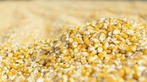 Freshly harvested corn grains Royalty Free Stock Photo