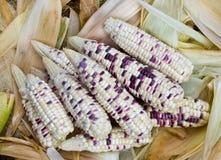 Freshly harvested corn waxy. Royalty Free Stock Photo