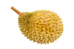 Freshly harvested durian fruit of the top grade Musang King variety Royalty Free Stock Photography