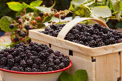 Freshly harvested forest blackberries Royalty Free Stock Photos