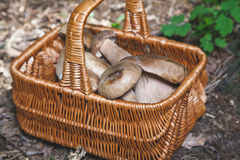Freshly harvested forest mushrooms in  wicker basket Royalty Free Stock Images