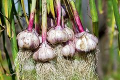 Freshly harvested garlic bulbs drying at the outdoors Stock Photos