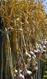 Freshly harvested garlic Stock Photo