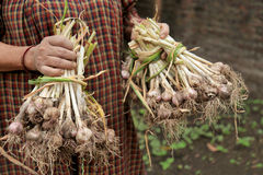 Freshly harvested garlic in the hands of women Stock Photography