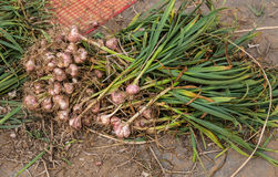 Freshly harvested garlic for sale. In local market Royalty Free Stock Photos