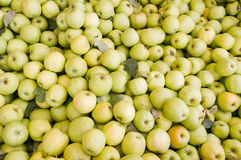 Freshly harvested golden delicious apples Stock Image