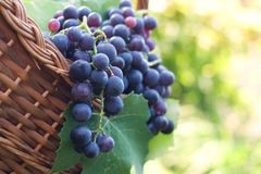Freshly harvested grapes Royalty Free Stock Images