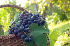 Freshly harvested grapes Stock Photo