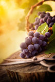 Freshly harvested grapes Royalty Free Stock Photography
