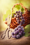 Freshly harvested grapes Stock Photos