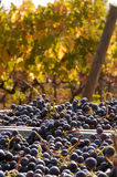 Freshly harvested grapes Royalty Free Stock Photos