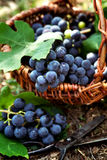 Freshly harvested grapes Royalty Free Stock Photo