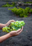 Freshly harvested grapes in Lanzarote Stock Photography