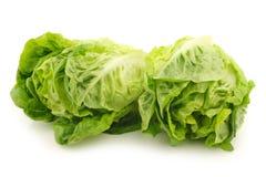 Freshly harvested green little gem lettuce Stock Images