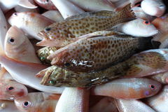 Freshly Harvested Groupers and Bream Royalty Free Stock Image