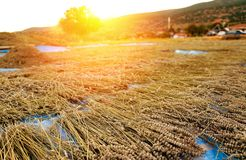 Freshly harvested lavender drying as hay stacks in the sunset royalty free stock photo
