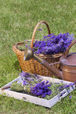 Freshly harvested lavender Stock Photography