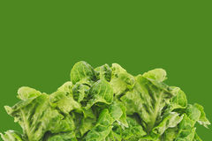 Freshly harvested little gem lettuce Royalty Free Stock Image