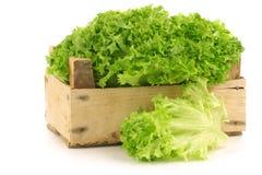 Freshly Harvested Lollo Bionda Lettuce Royalty Free Stock Photography