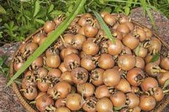 Freshly harvested medlars Royalty Free Stock Photography