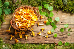 Freshly harvested mushrooms in the forest Royalty Free Stock Photography