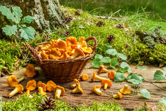 Freshly harvested mushrooms in the wicker basket Royalty Free Stock Photography