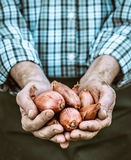 Freshly harvested onion Royalty Free Stock Photography