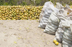 Freshly harvested oranges. Oranges being prepared for distribution immediately after being harvested from the groves in Belize Royalty Free Stock Photo